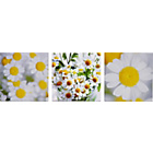 more details on Heart of House Daisy Canvas - Set of 3.