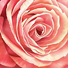 more details on Pink Rose Wall Art.