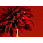 more details on Graham & Brown Red Dahlia Wall Art.